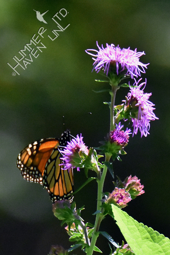 Monarch at 1:15 pm just before totality of Solar Eclipse 8-21-17