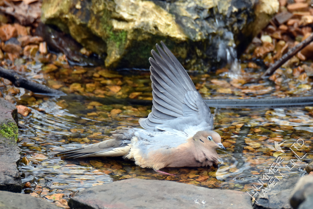 Mourning Dove water ballet 3-6-17