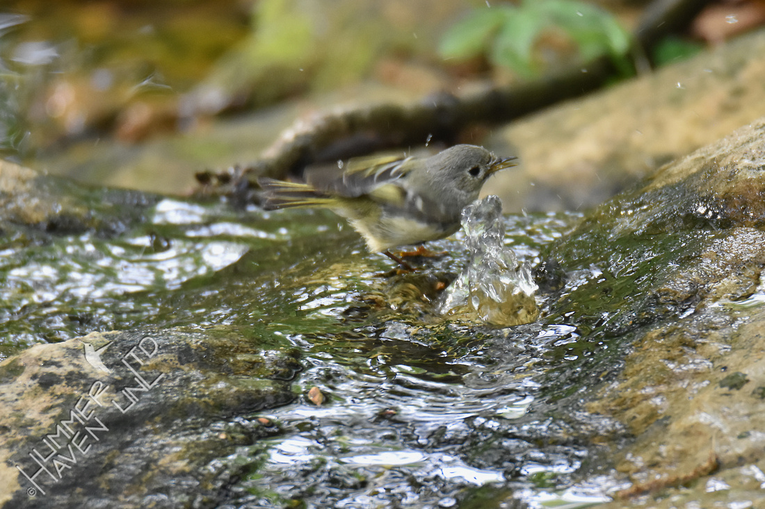 Ruby-crowned Kinglet 4-24-17