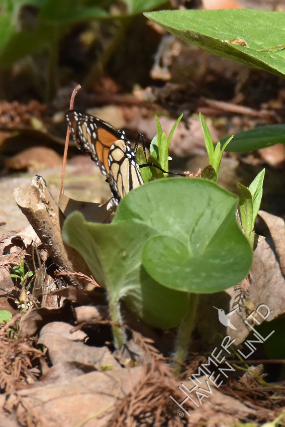 Monarch laying  eggs on Marsh Milkweed (Asclepias incarnata) 4-15-17