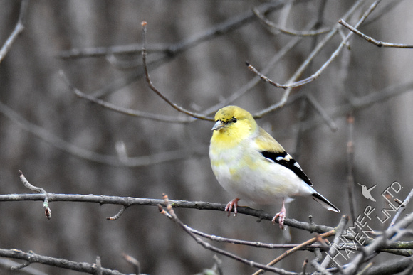 1-3-17 American Goldfinch in winter plumage