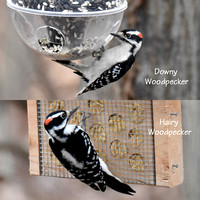 Downy and Hairy Woodpeckers 1-25-17