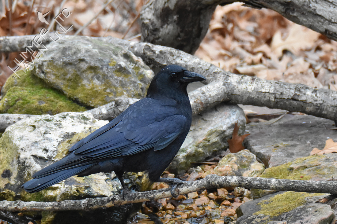 American Crow 2-10-18