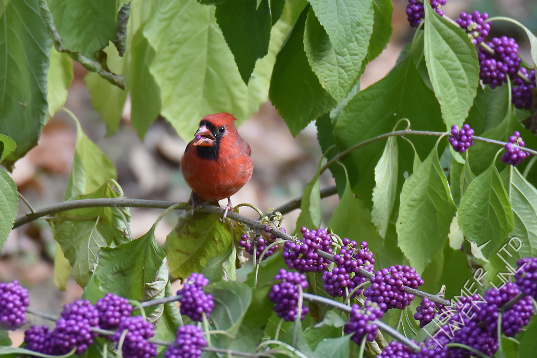 Northern Cardinal eating American Beautyberry (Callicarpa americana) 11-2-17