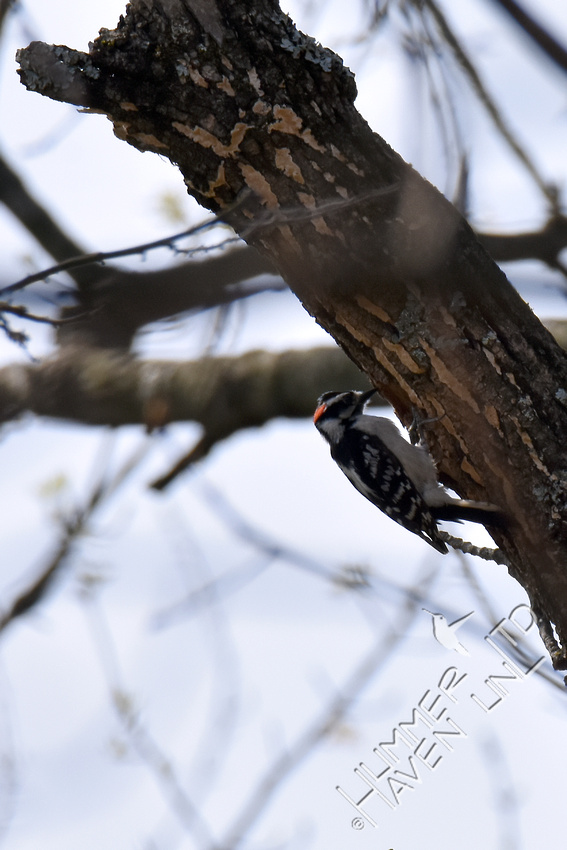 Downy Woodpecker at nest hole in Green Ash (Fraxinus pennsylvanica)  4-9-17