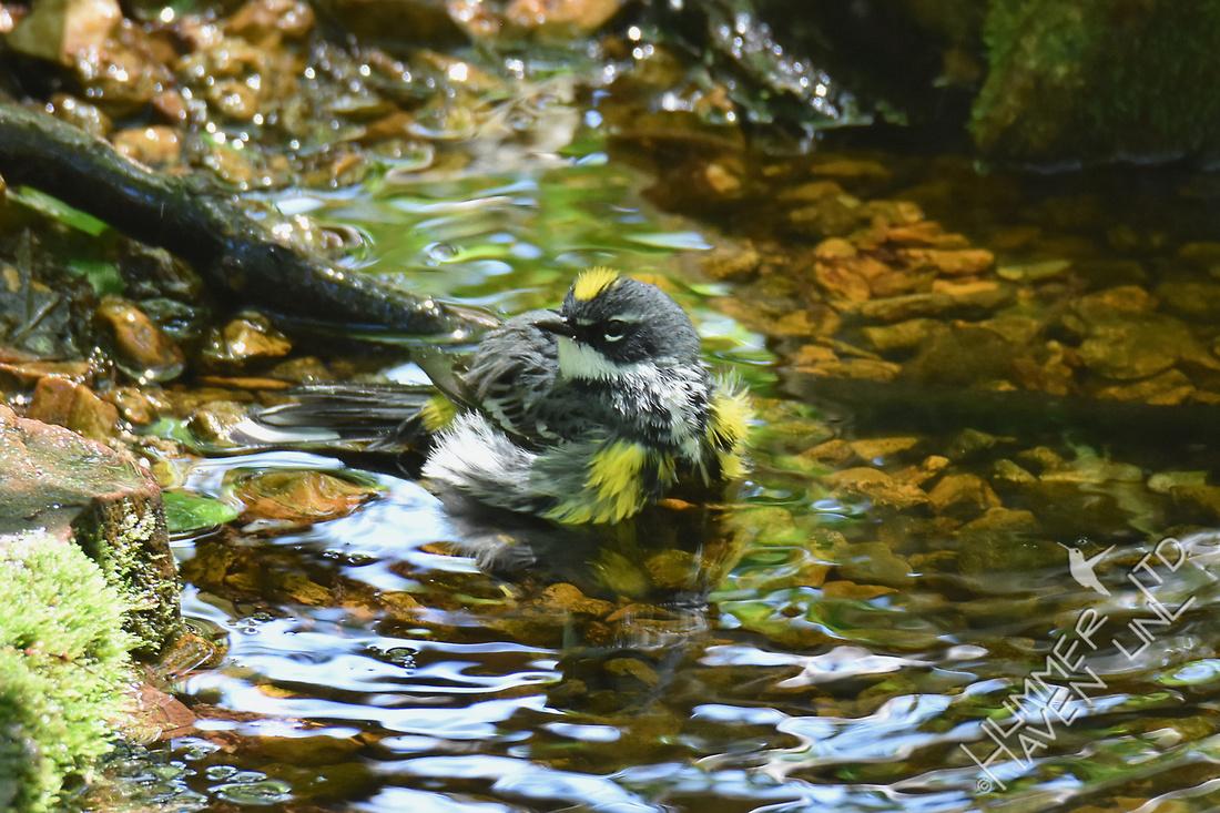 Yellow-rumped Warbler 5-5-17