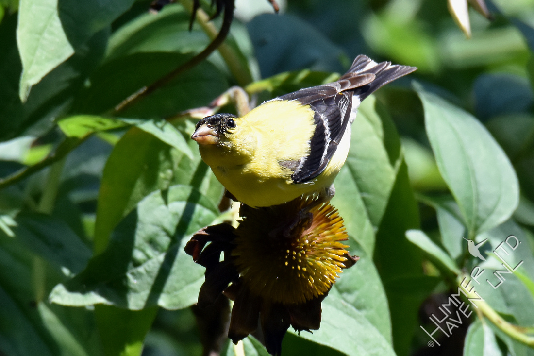 American Goldfinch at 12:59 pm Solar Eclipse 8-21-17