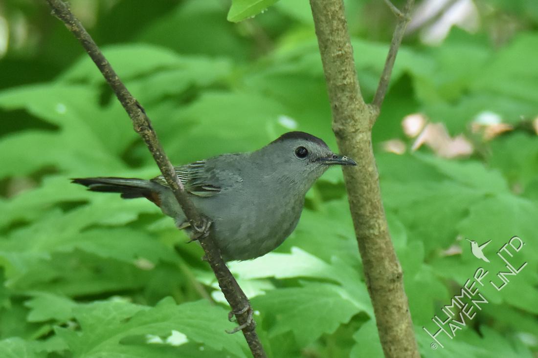 Gray Catbird 5-7-17