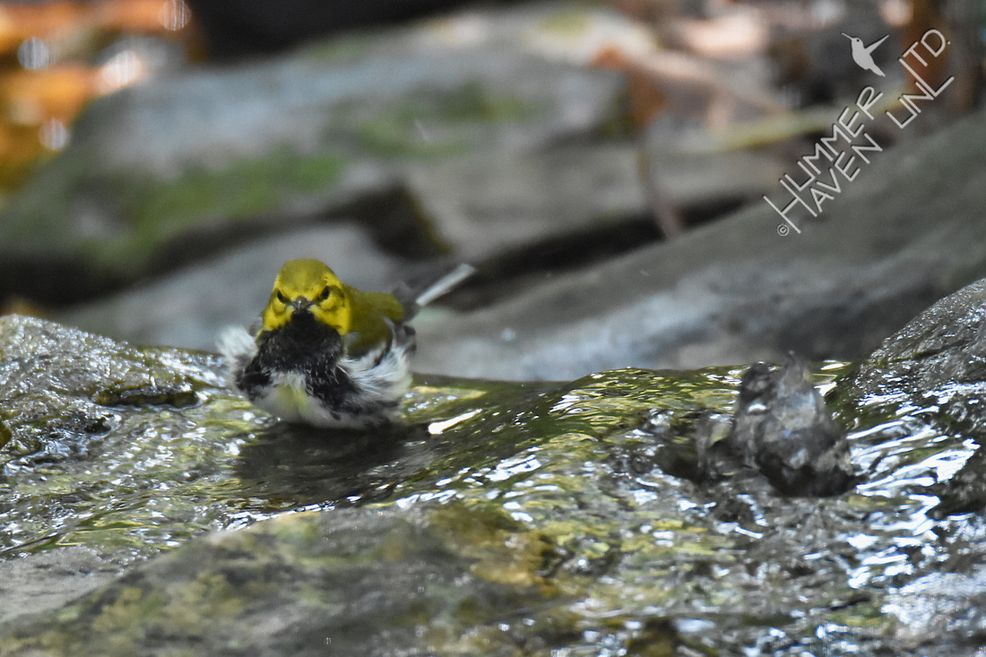 Black-throated Green Warbler 9-24-17