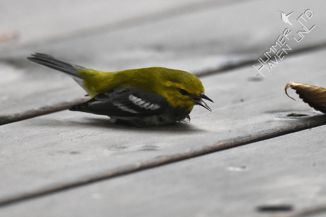 Black-throated Green Warbler - window strike 10-9-17