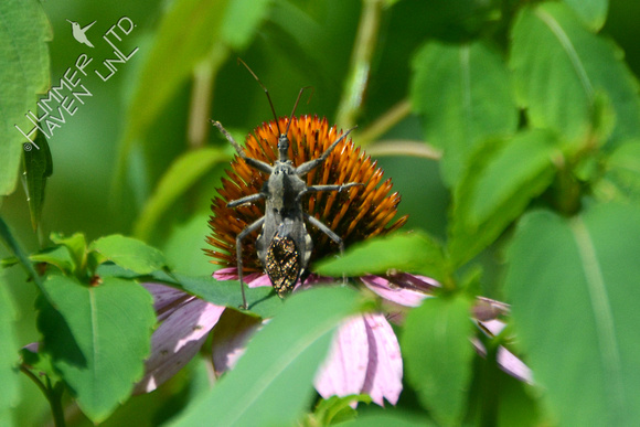 Wheel Bug (Arilus cristatus) on Purple Coneflower (Echinacea purpurea)