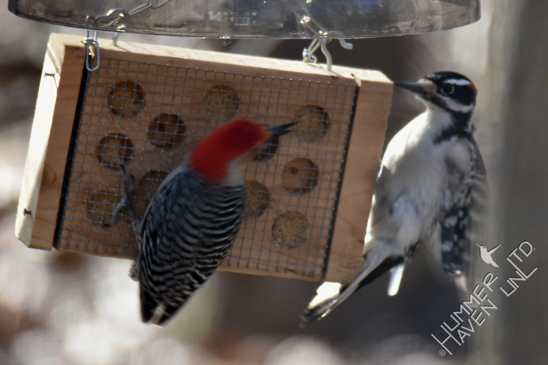 Red-bellied and Hairy Woodpeckers 2-15-17
