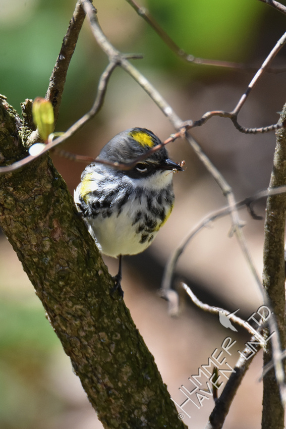 Yellow-rumped Warbler with insect 4-20-18