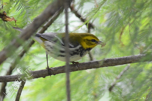 Black-throated green Warbler with insect