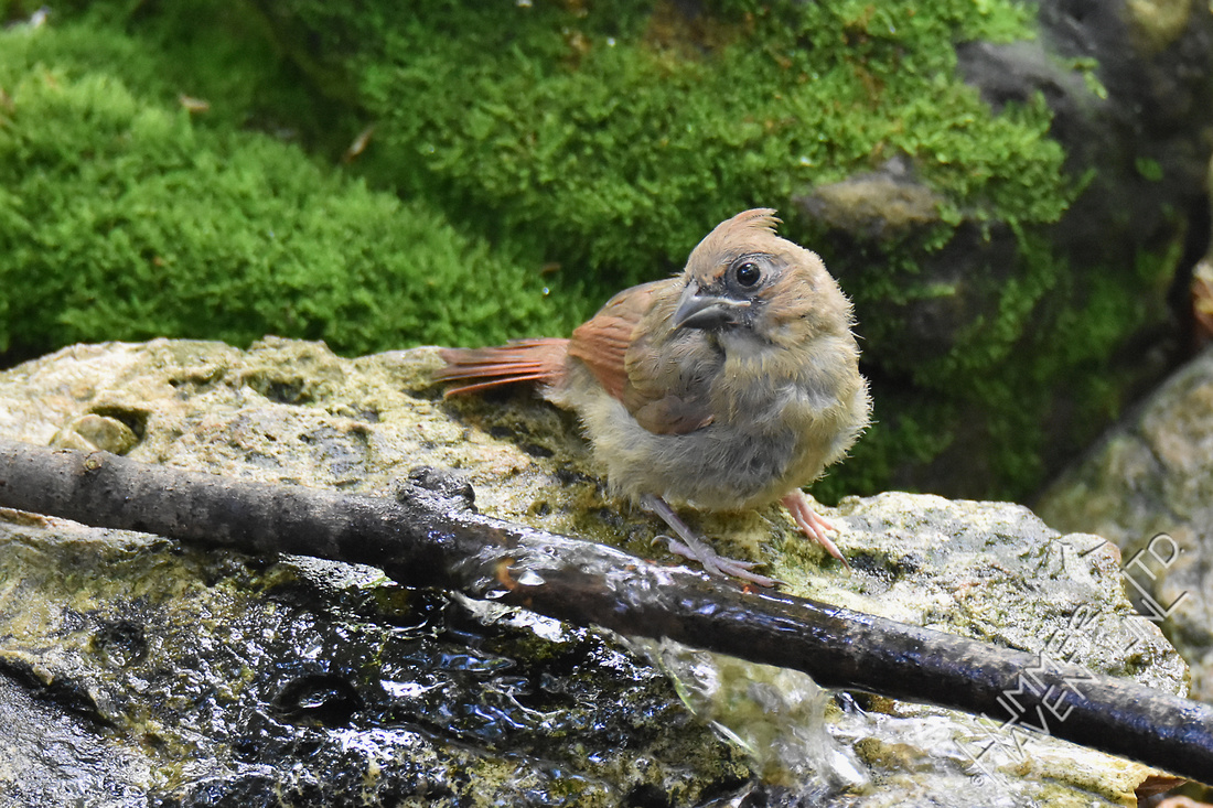 Northern Cardinal fledgling 5-18-17