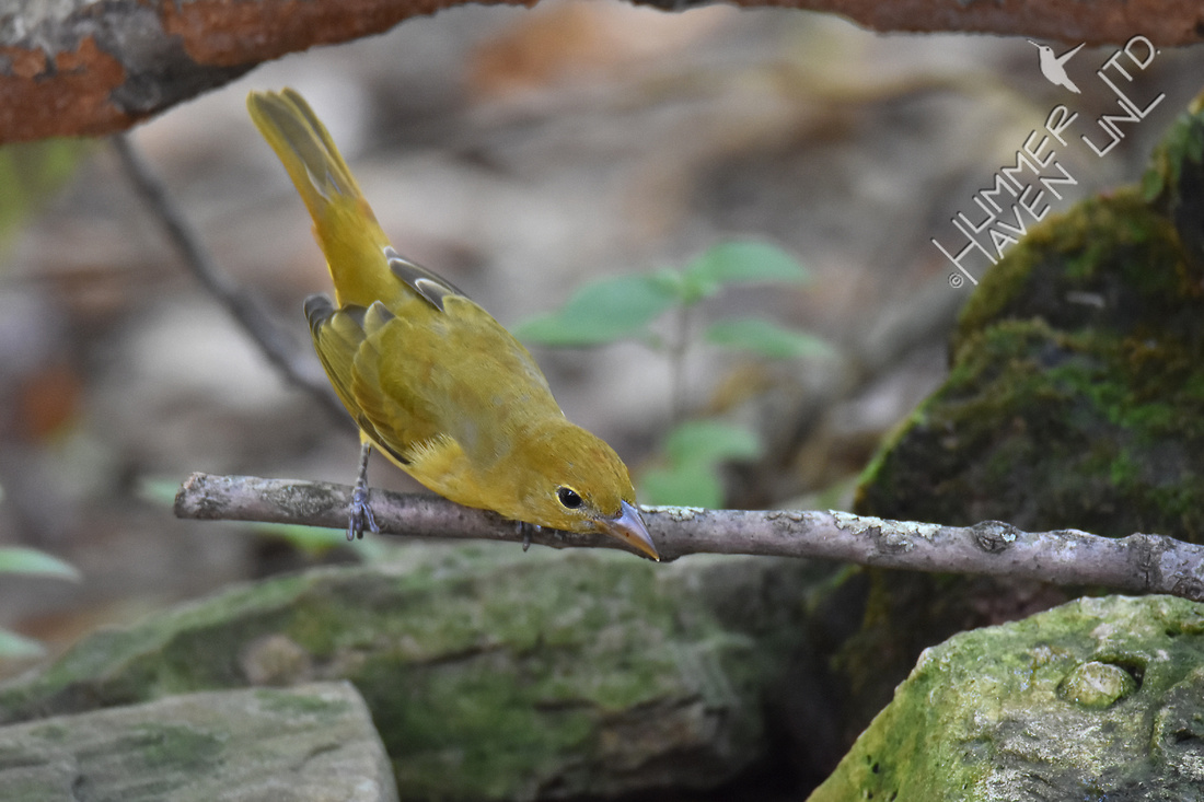 Summer Tanager 10-19-17