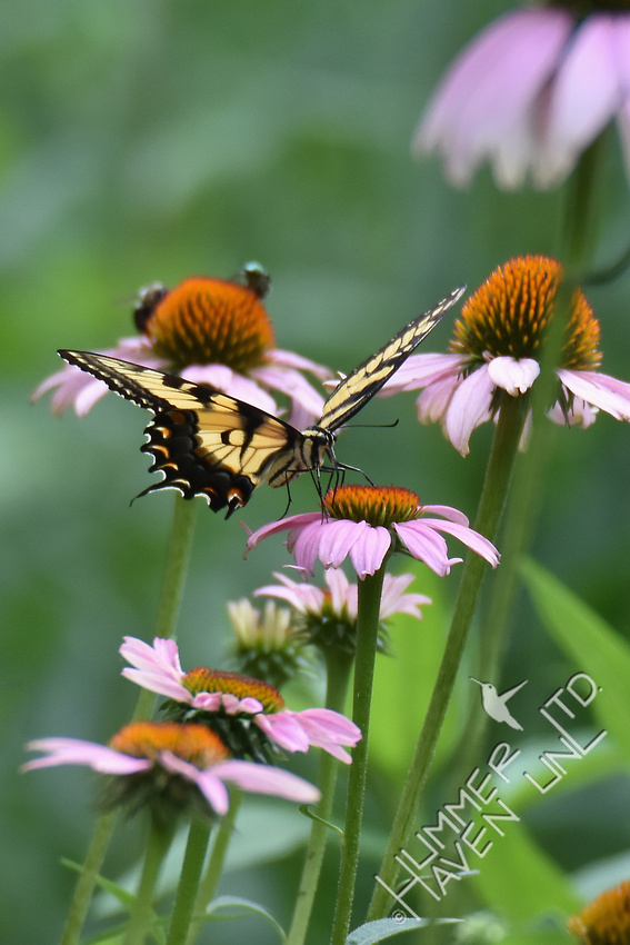 Eastern Tiger Swallowtail on Purple Coneflower (Echinacea purpurea) 7-14-17