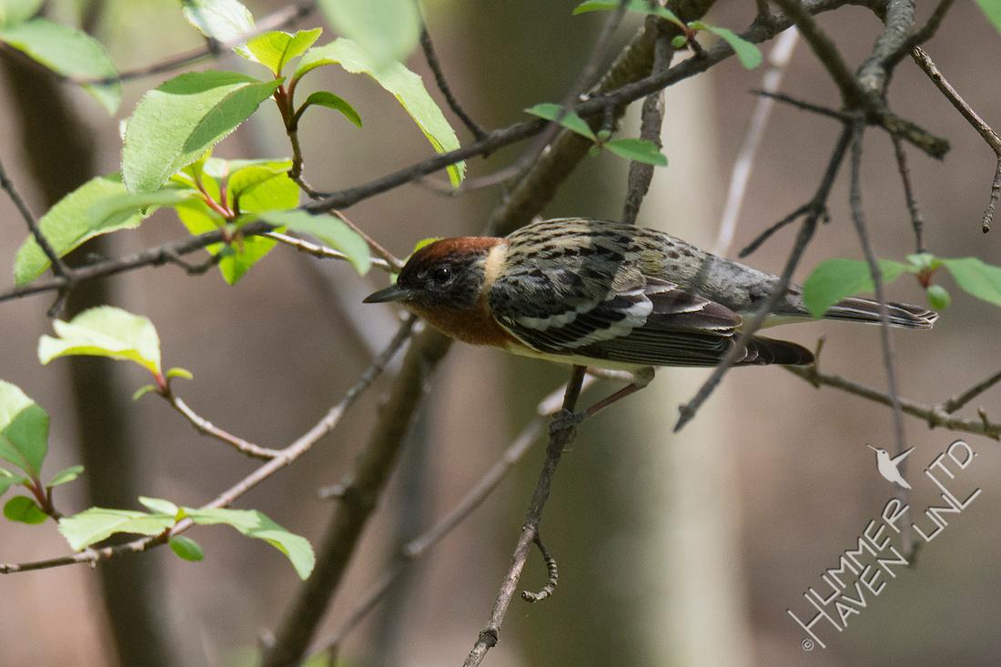 Bay-breasted Warbler 5-2-18