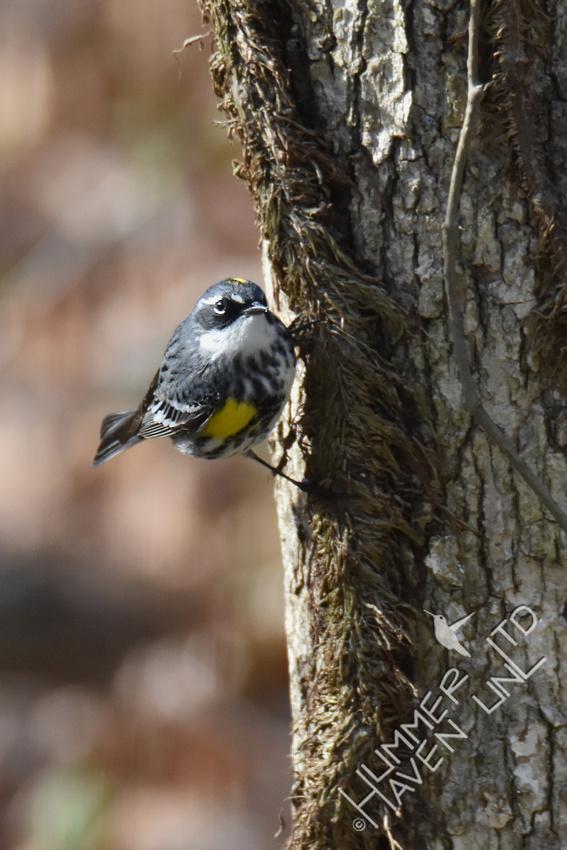 Yellow-rumped Warbler 4-18-18