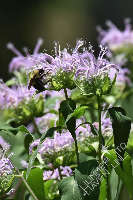 Bumblebee on Beebalm (Monarda fistulosa) 6-29-17