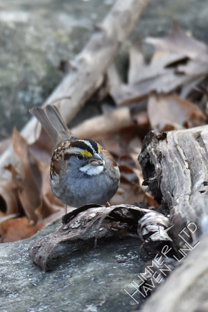 1-1-17 White-throated Sparrow with larva from log
