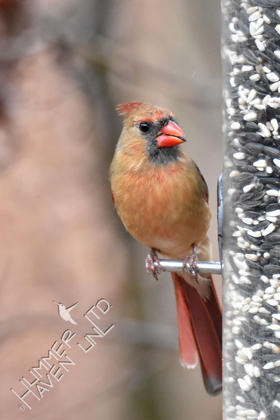 1-2-17 Northern Cardinal female