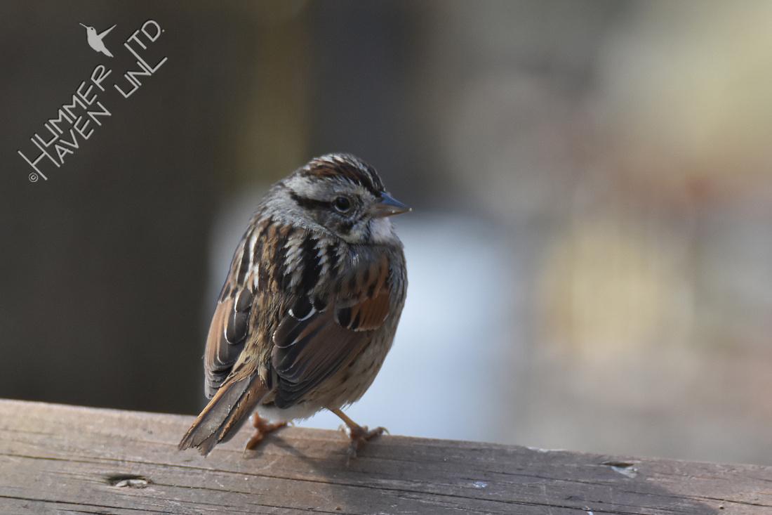 Swamp Sparrow 4-5-18