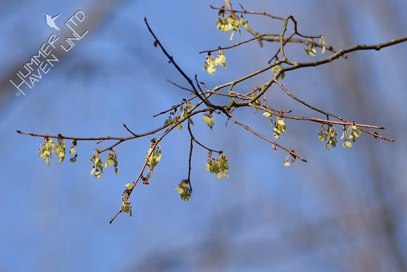American Elm (Ulmus americana)  in bloom 3-9-17
