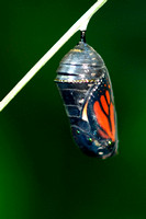 Monarch about to emerge from chrysalis