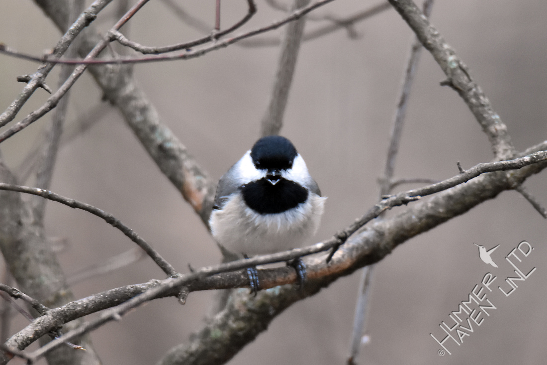 Carolina Chickadee is not happy 3-6-17