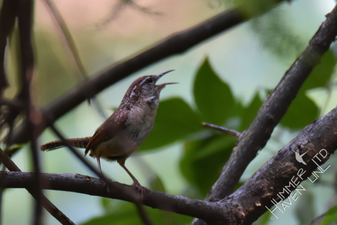 Carolina Wren calling in alarm 8-3-17