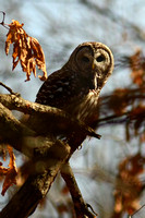 Barred Owl with Vole