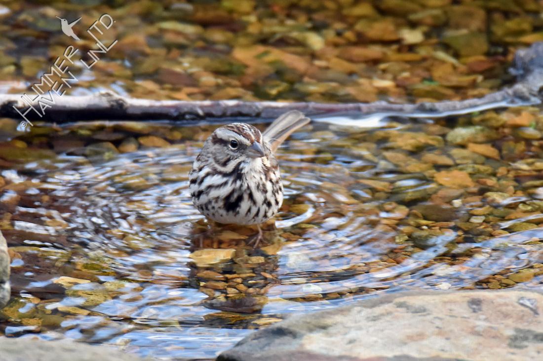 Song Sparrow 3-4-18