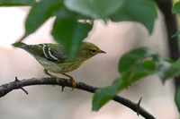 Female Blackpoll Warbler on 10-4-13 documented as 3rd Missouri Fall record