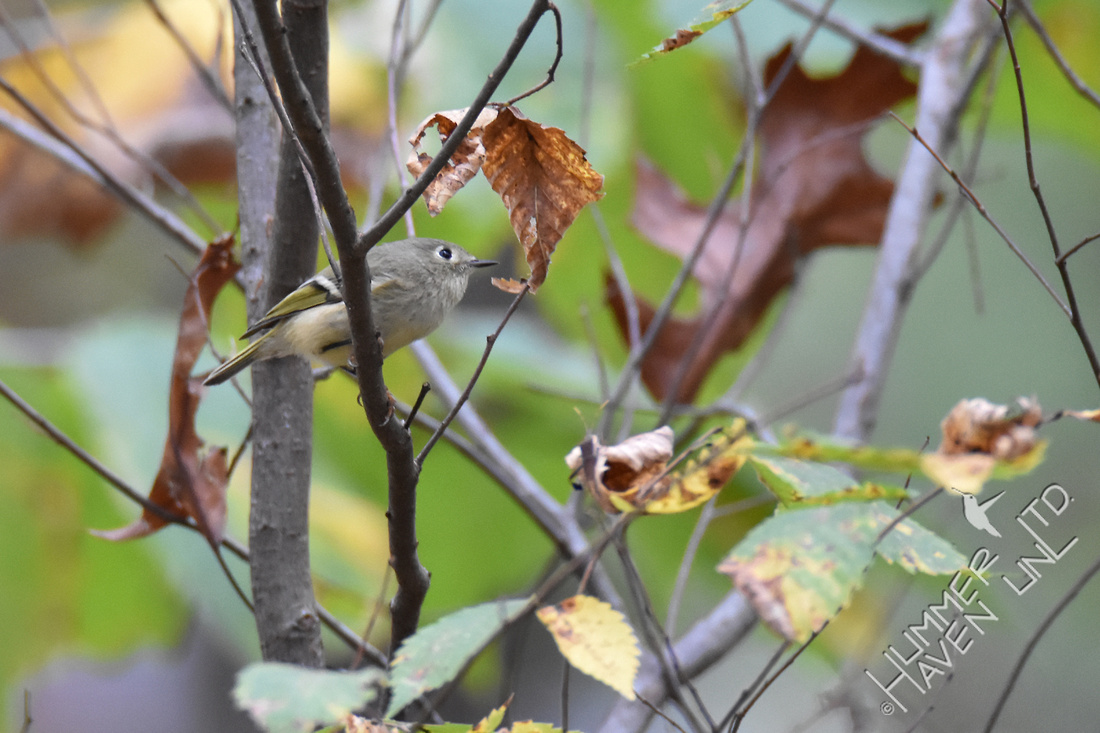 Ruby-crowned Kinglet in Elm 11-2-16