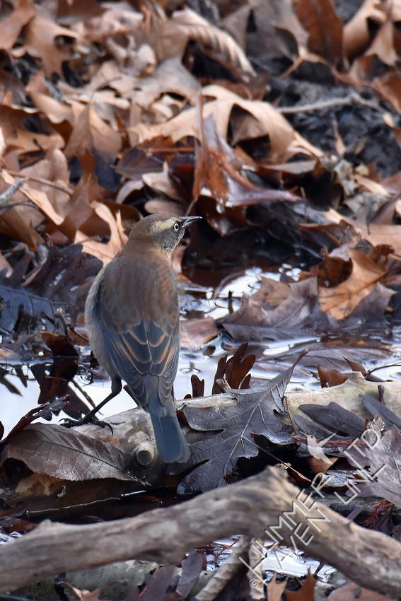 Rusty Blackbird  12-3-17