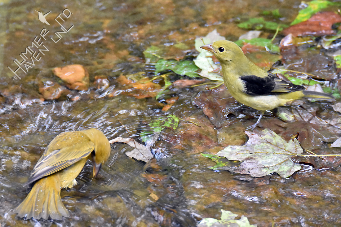 Summer Tanager female and Scarlet Tanager 10-1-16