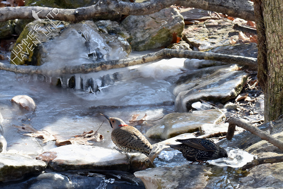 Northern Flicker and European Starling at icy Bubbler  1-4-18