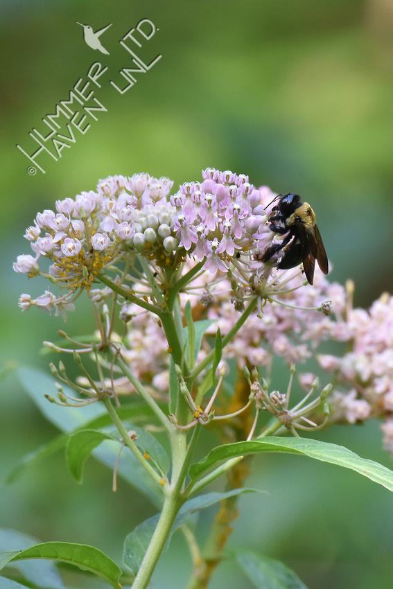 Bumblebee on Marsh Milkweed (Asclepias incarnata) 8-21-17