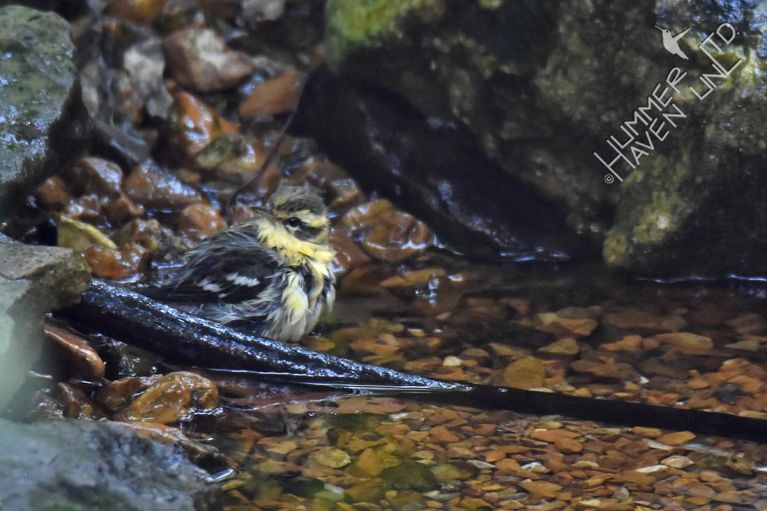 Blackburnian Warbler 1y Male 9-20-17