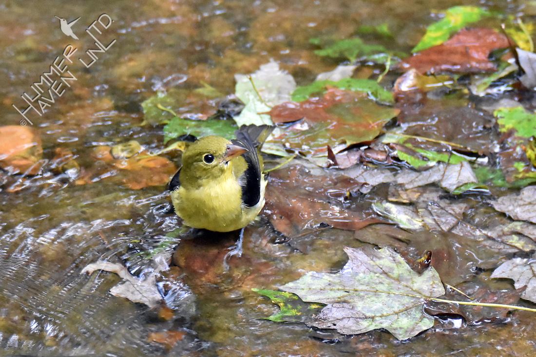 Scarlet Tanager 10-1-16