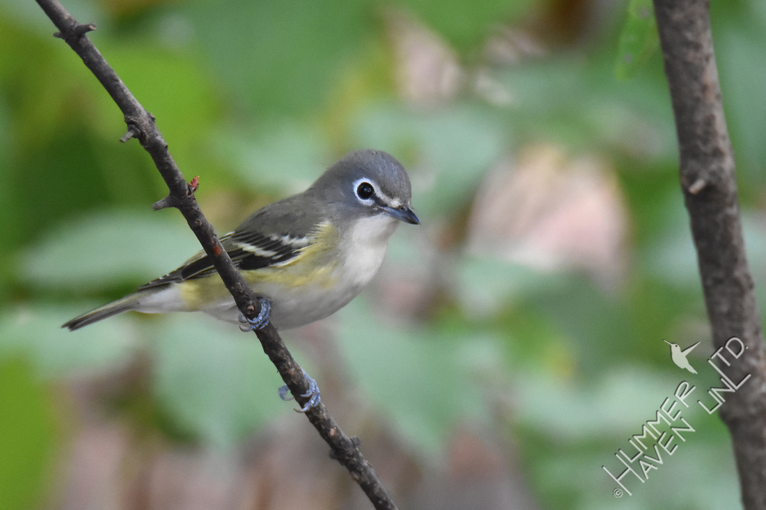 Blue-headed Vireo - 2 10-6-17