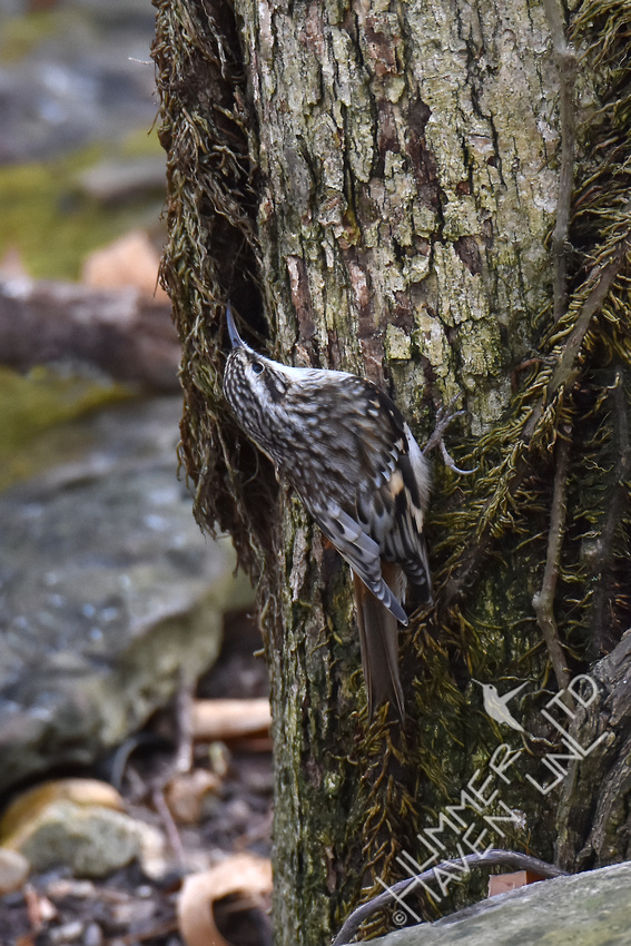 Brown Creeper  12-3-17