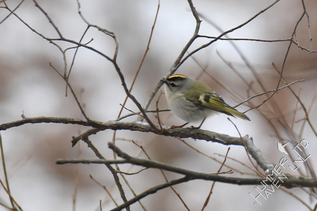 Mystery Bird - Golden-crowned Kinglet 1-9-17