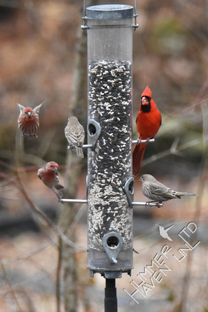 1-3-17 House Finches and Northern Cardinal
