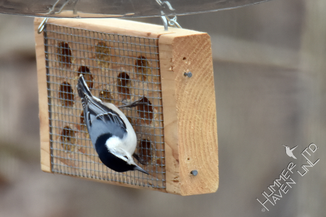 White-breasted Nuthatch 2-14-17
