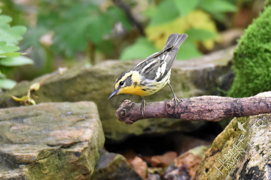 Blackburnian Warbler female 5-12-17