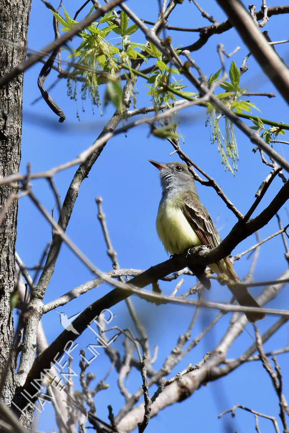 FOY Great-crested Flycatcher 4-27-18