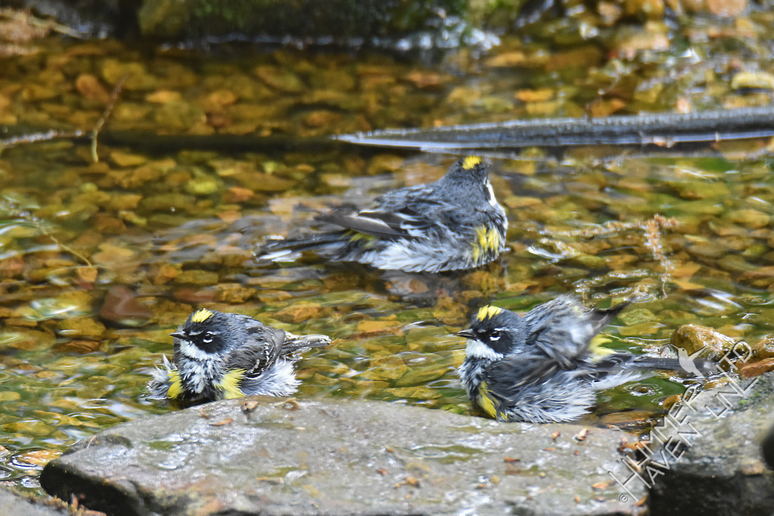 Yellow-rumped Warblers 4-22-17