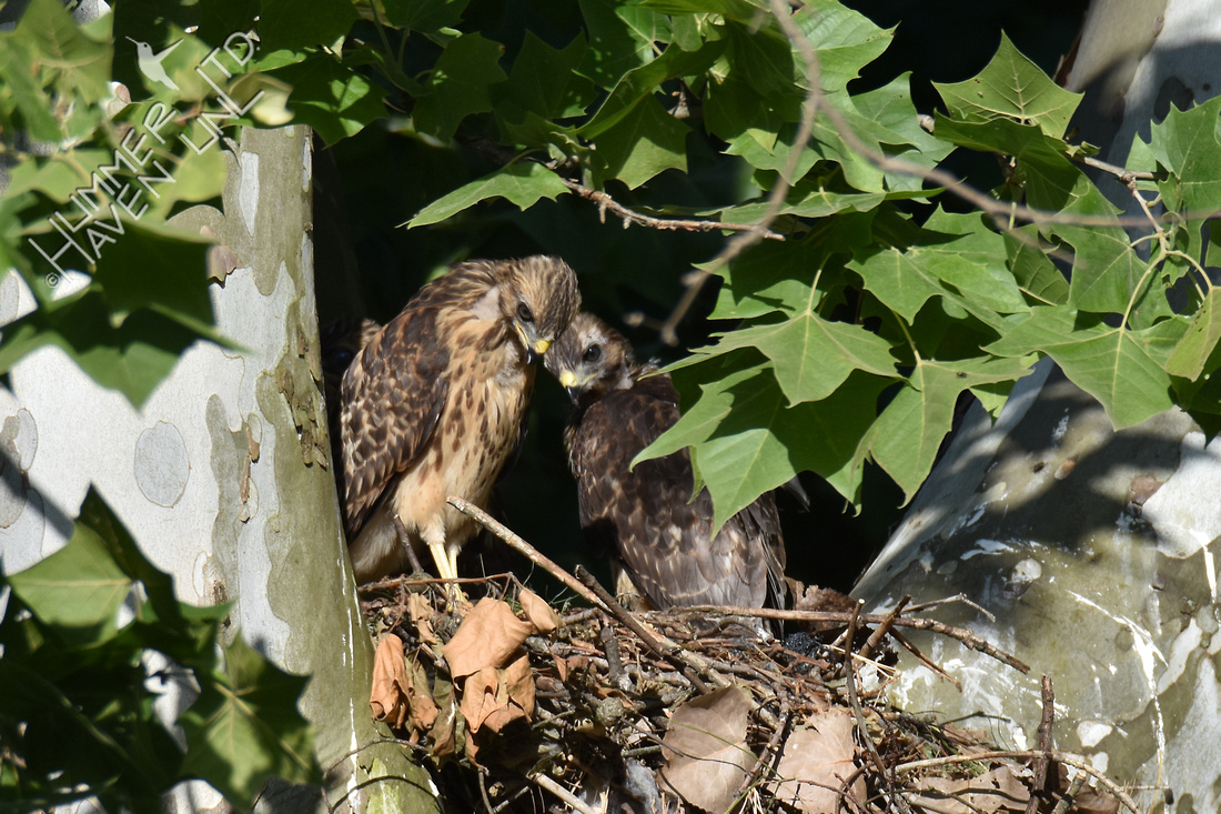 6-9-17 Red-shouldered Hawk juveniles look at shrew